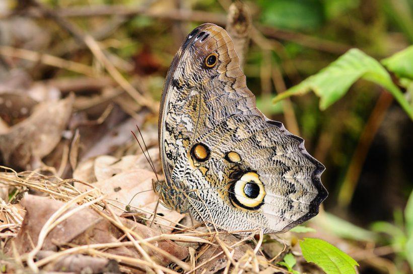AS Caligo Butterfly copy