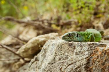 green lizard sitting on rock