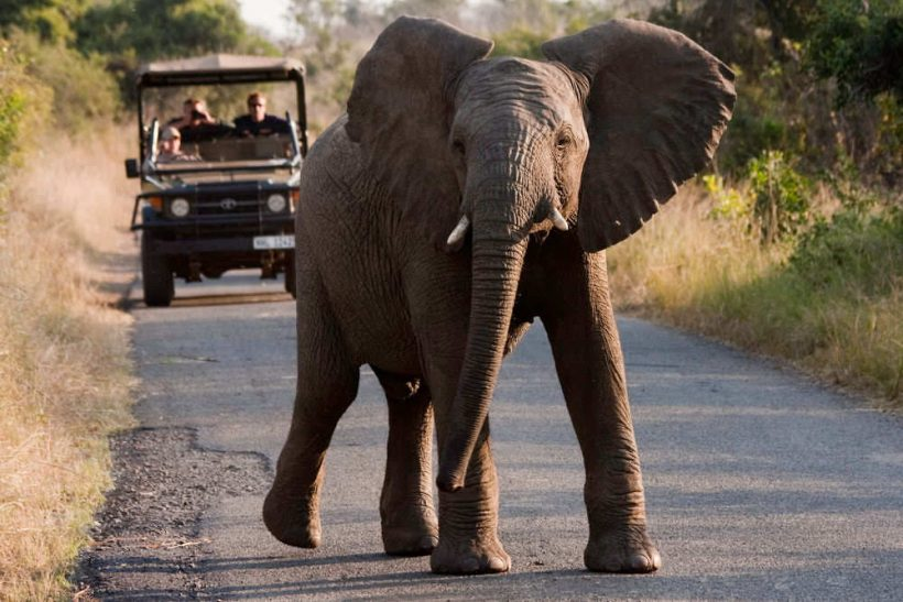 A Female African elephant (Loxodonta africana) displaying a warning as she crosses the road in Hluhluwe Game Reserve. Animal Behaviour Volunteering