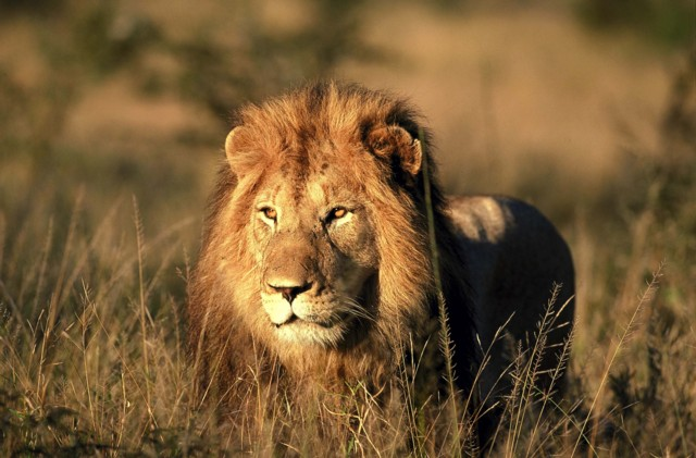 Lion-South-Africa-Research