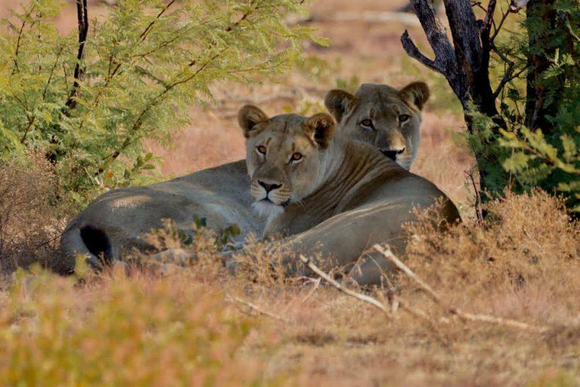 Lioness-dinokeng