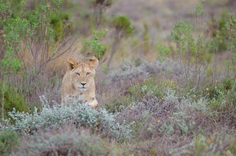 Lioness-heading