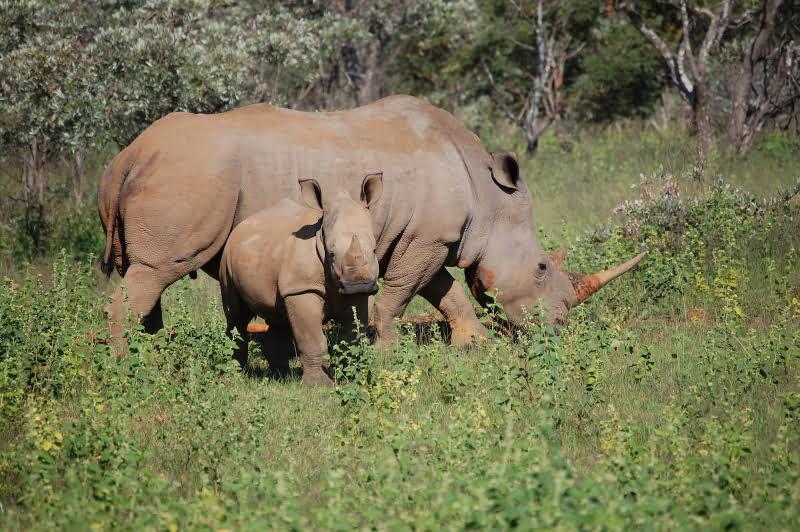 Rhinos-South-Africa