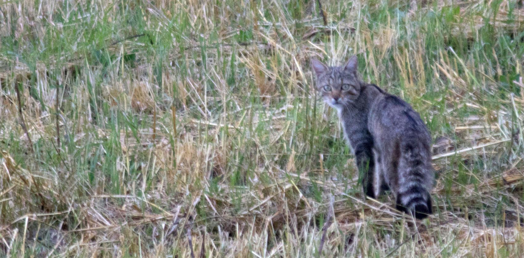 european wildcat angofa wildlife centre