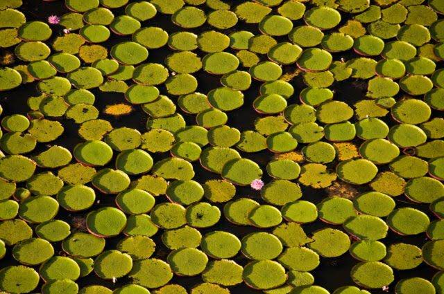 Green Floating plants with pink flowers on the Rupununi River in Iwokrama Guyana seen on sustainable tours