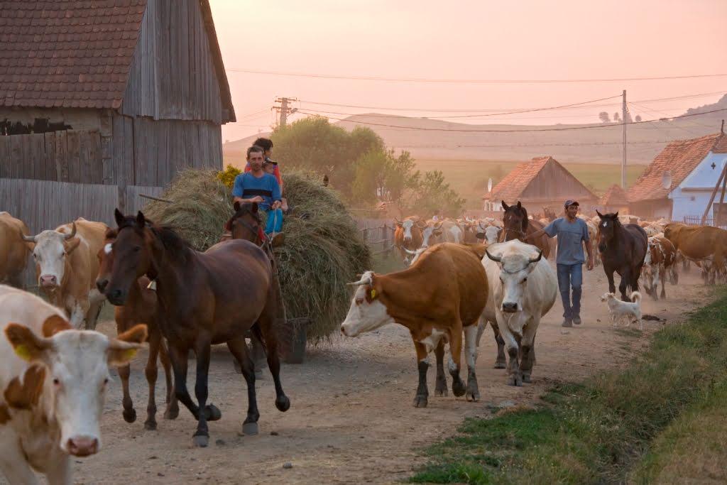 viscri cattle at dusk