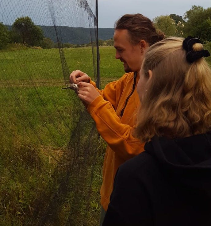 Handling a bird in the net for wildlife monitoring research by using bird mist netting in Transylvania on friends of wallacea volunteer placements